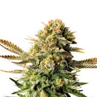 Russian Doll (Muñeka Rusa) Feminised Seeds
