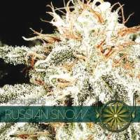 Russian Snow Feminised Seeds