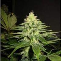 NL5 x Skunk Regular Seeds
