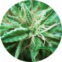 Sativa Samadhi Regular Seeds