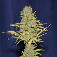 Power Africa FAST Feminised Seeds