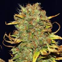 Power Africa x MK Ultra FAST Feminised Seeds