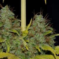 White Widow FAST Feminised Seeds
