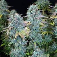 Serious Happiness Feminised Seeds