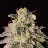 Shark Shock CBD Feminised Seeds