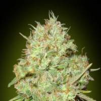 Shark Widow Feminised Seeds
