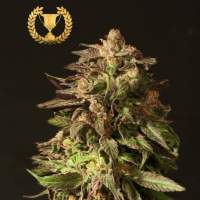 Shoreline Feminised Seeds