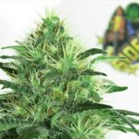Sideral Feminised Seeds