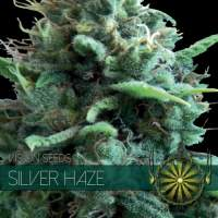 Silver Haze Feminised Seeds