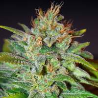 Skunk 47 Feminised Seeds