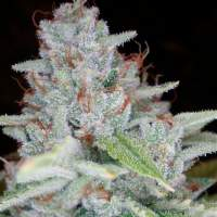 Skywalker Kush Feminised Seeds