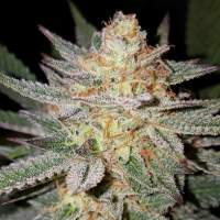 Sour Grape Regular Seeds