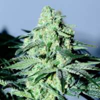Sour Patch Kiss Feminised Seeds