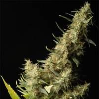 Southern Lights Regular Seeds