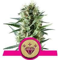 Special Kush #1 Feminised Seeds