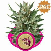 Speedy Chile FAST VERSION Feminised Seeds