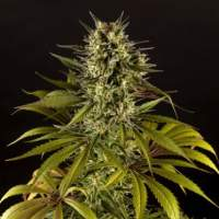 Spicy CBD Feminised Seeds