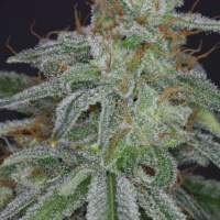 Star Feminised Seeds