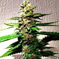 Strawberry Diesel Dojo Regular Seeds