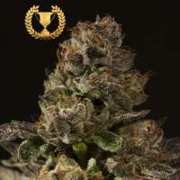 Strawberry Sour Diesel Feminised Seeds