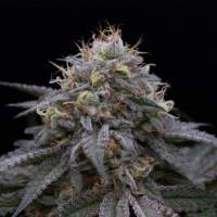 Sugar Breath Feminised Seeds