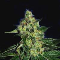 Sugar Mill Feminised Seeds (Gold Collection)
