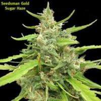 Sugar Haze Regular Seeds