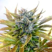 Super Blueberry Haze Autoflowering Regular Seeds