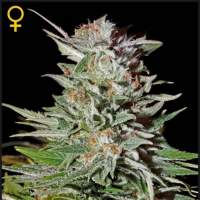 Super Lemon Haze AUTO Feminised Seeds