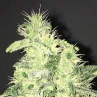 Supreme CBD Durban Feminised Seeds