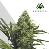 Sweet CBD Auto Feminised Seeds