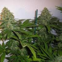 Green Poison Feminised Seeds