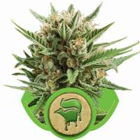 Sweet Skunk Automatic Feminised Seeds