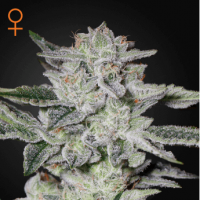 Sweet Valley Kush Feminised Seeds
