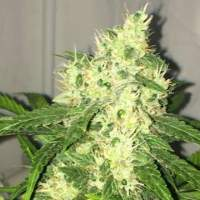 Swiss Cheese AUTO Feminised Seeds