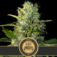 Tangie Auto Feminised Seeds