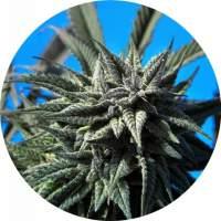 Tao Blueberry AUTO Regular Seeds