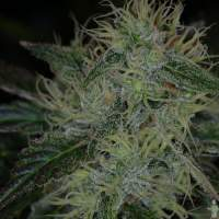 Chernobyl Regular Seeds