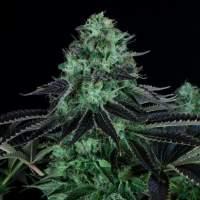 Th  Cannabis  Seeds  Darkstar