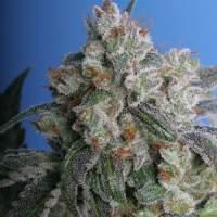 Th  Cannabis  Seeds  Burmese  Kush  Feminised 1