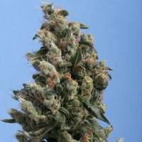 Th  Cannabis  Seeds  Kushage  Regular 1