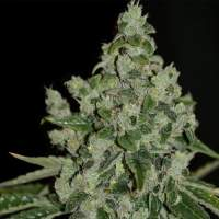 Th  Cannabis  Seeds  Ultrasour 0