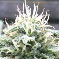 The White Star Regular Seeds