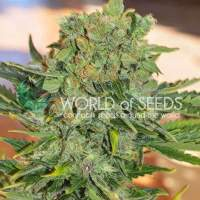 Tonic Ryder CBD Auto Feminised Seeds