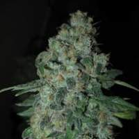 Tsi Fly Regular Seeds