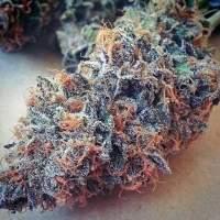 Ultimate Purple Regular Seeds