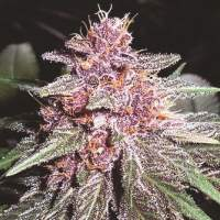 Violeta Feminised Seeds