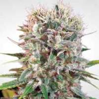Wappa Auto Feminised Seeds