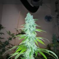 Wedding Cake S1 Feminised Seeds