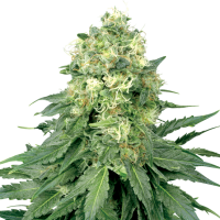 White Widow Regular Seeds